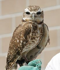 BurrowingOwl for News Flash