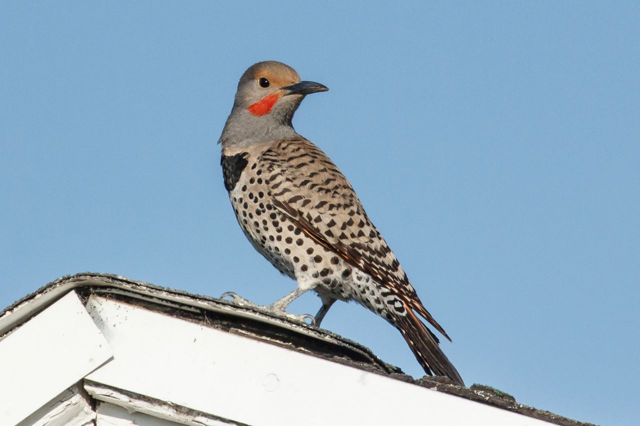 Northern Flicker by Gary Bowen 2017