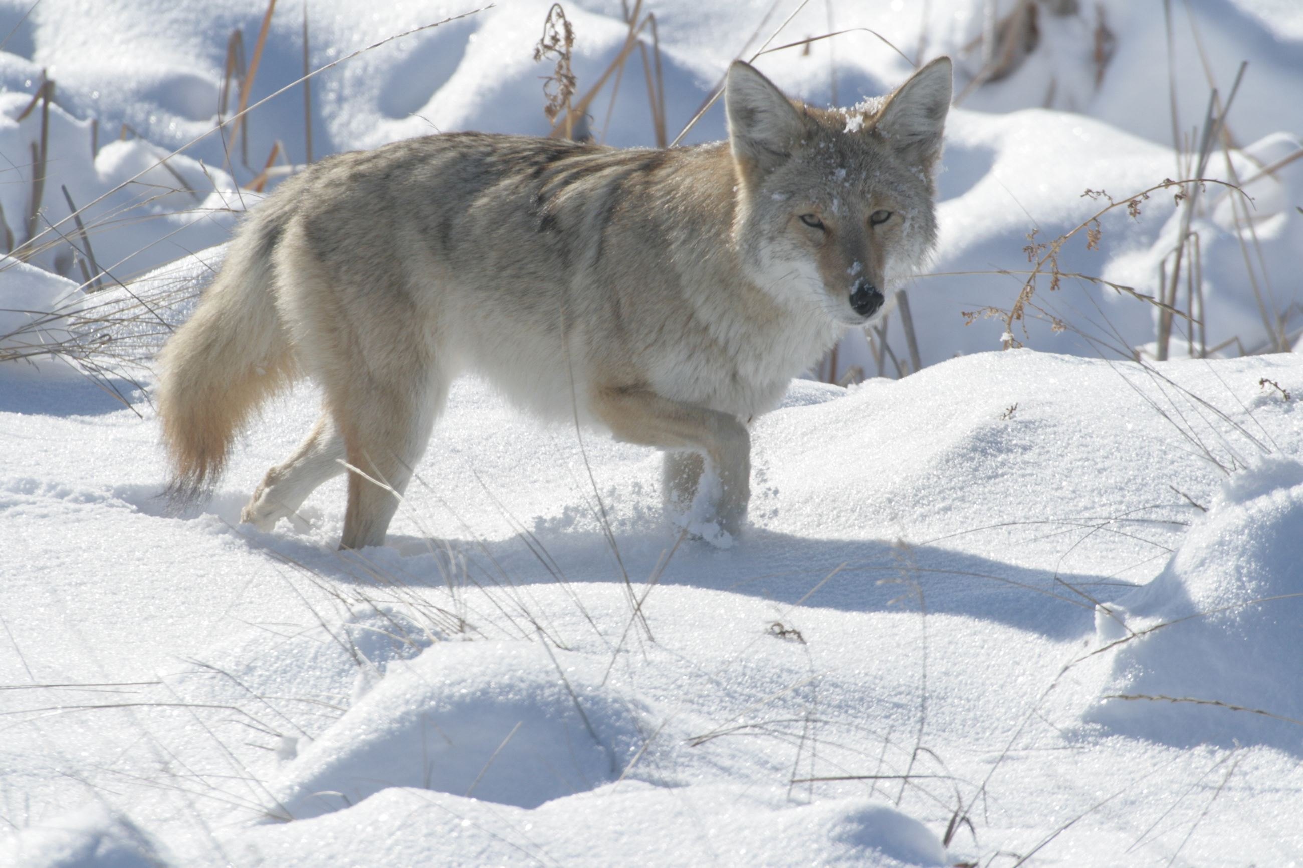 Coyote in Winter Coat at The Field
